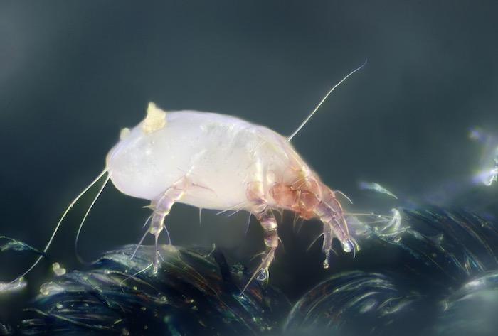 Micrografía de un ácaro del polvo (crédito de la imagen: Wikimedia)